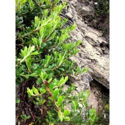 Pianta di uva orsina - crescita spontanea