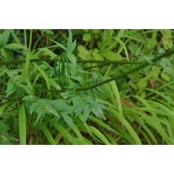 Particolare delle foglie di Valeriana officinalis