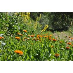 Scorcio del campo di Calalzo di Cadore, con la coltivazione di Calendula officinalis