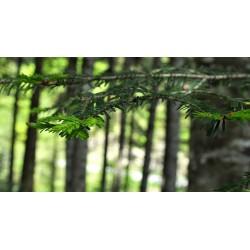 Particolare dei rami, le cui foglie (aghi) sono disposte su un unico piano. Sono visibili inoltre le gemme primaverili.
