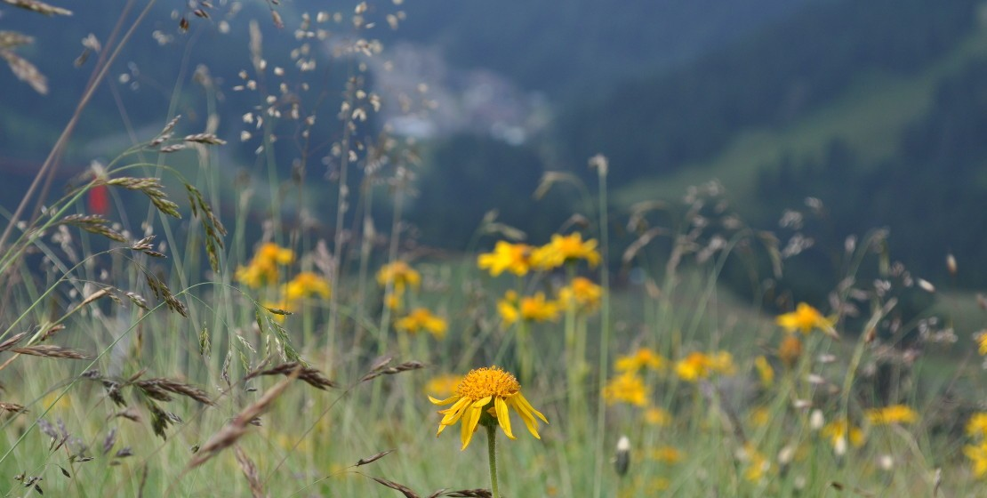 Vista panoramica da un prato di arnica montana